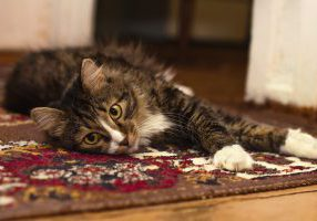 tapijt met kat